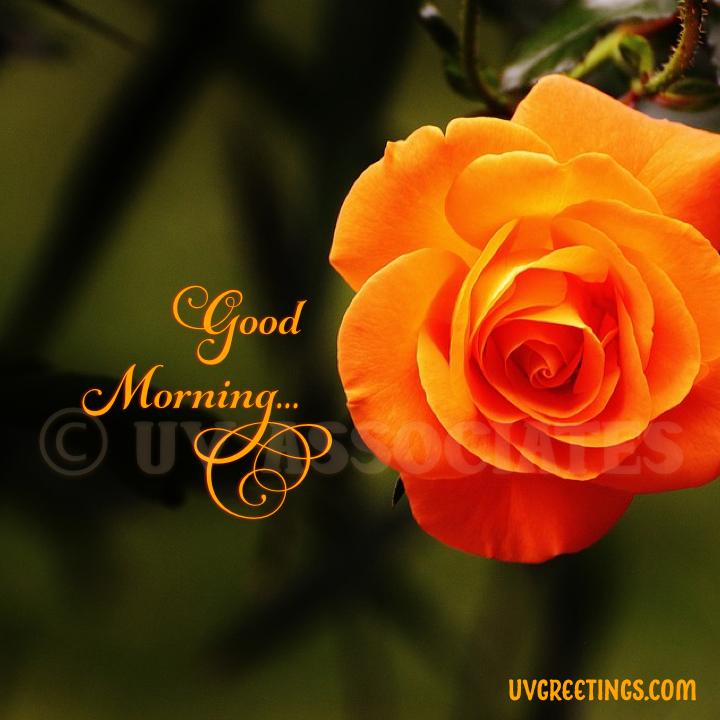 Good Morning Image - Warm Orange Red Shades of a Fabulous Rose