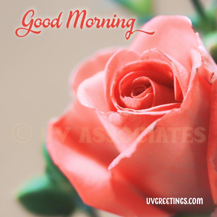 Peach Rose Good Morning Script