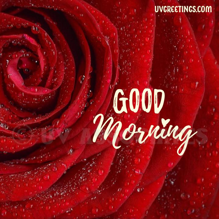 Red Rose Closeup - Good Morning Image