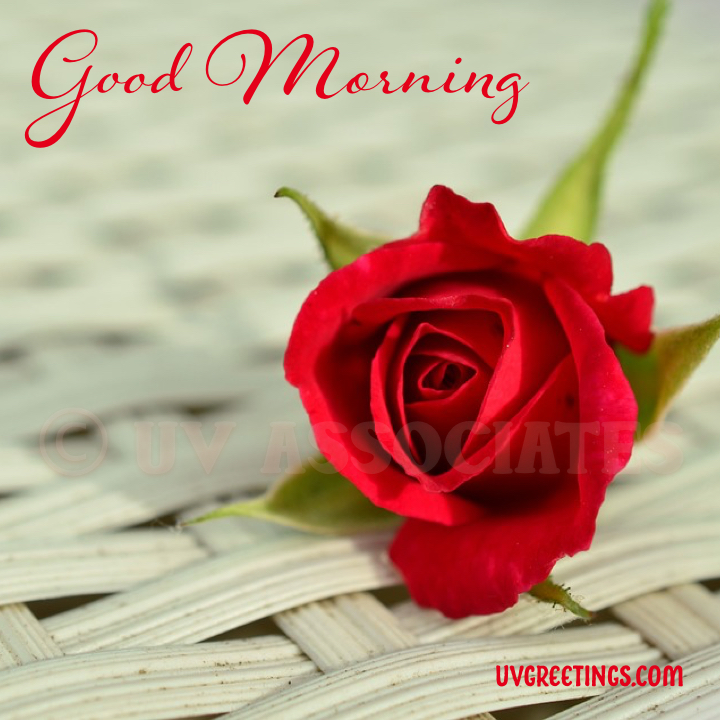 Solo Red Rose - Good Morning Image