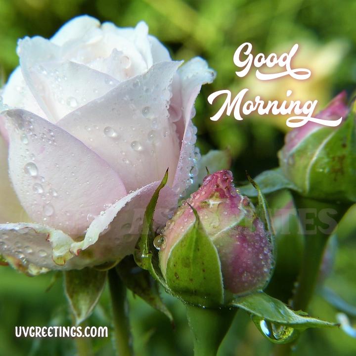 White Pink Rose Bud - Good Morning Image