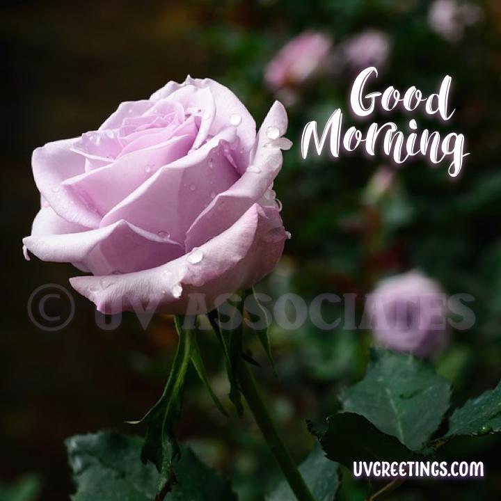 Purple Rose - Good Morning Image