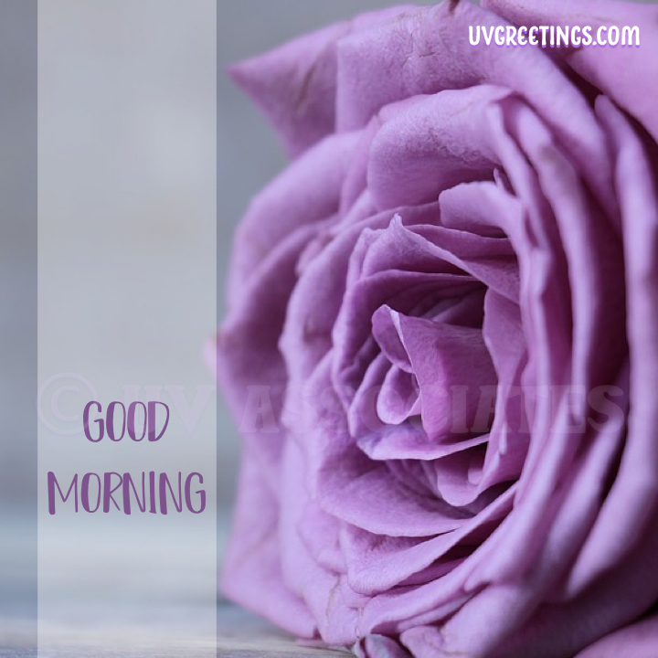 Good Morning Image - Deep Purple rose