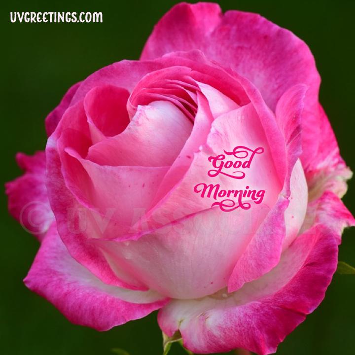 Pink White Rose Petals Edges Good Morning Image