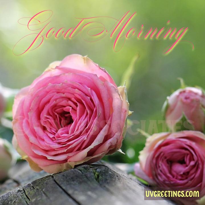 Pink Roses - Soft Light - Good Morning Image
