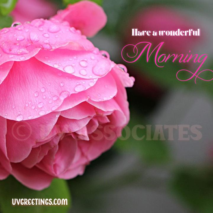 Pink Rose Dew Drops - Good Morning