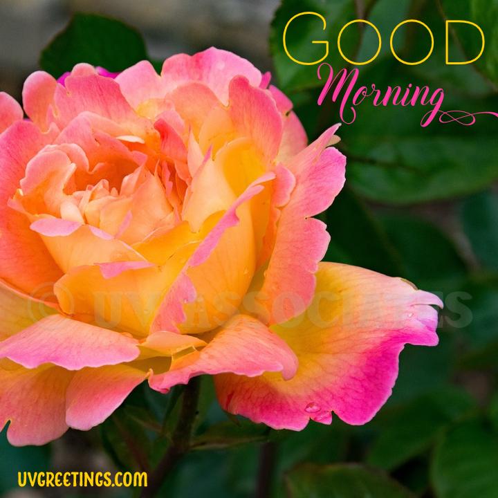 Orange Pink Rose - Good Morning Image