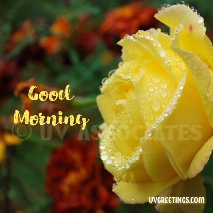 Brush Script, Yellow Rose, Good Morning Image