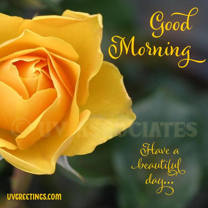 Deep Yellow Rose - Good Morning Image