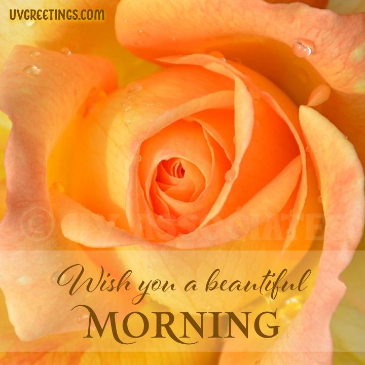 Yellow orange rose close up - Good Morning Image